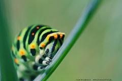 Schwalbenschwanzraupe