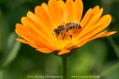 Eine Biene auf einer Ringelblume