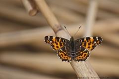 Schmetterlinge-16