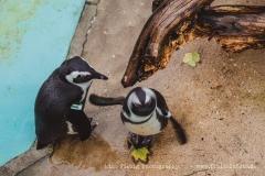 Pinguine. Links steht Hans. Offenbar gab es gerade eine Diskussion. Hans darf leider nicht mitspielen. :-)