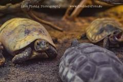 Texas-Gopherschildkröte