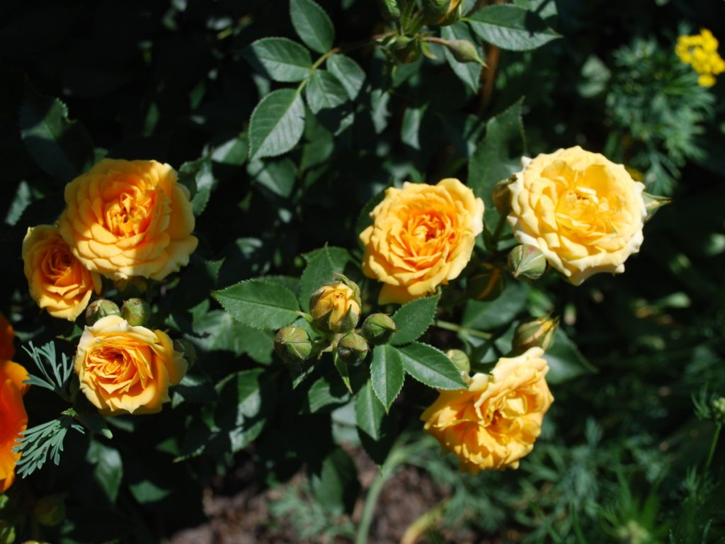 gelbe_Rose