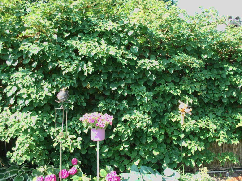 Hortensienschnitt
