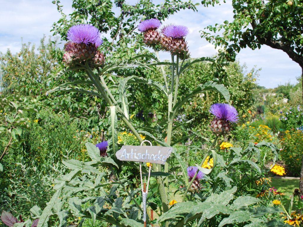 Artischockenblume