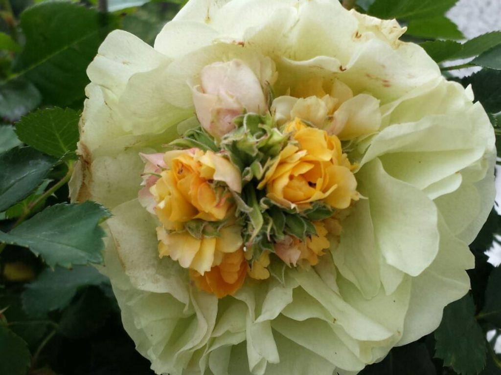 rosenbluete_in_rose