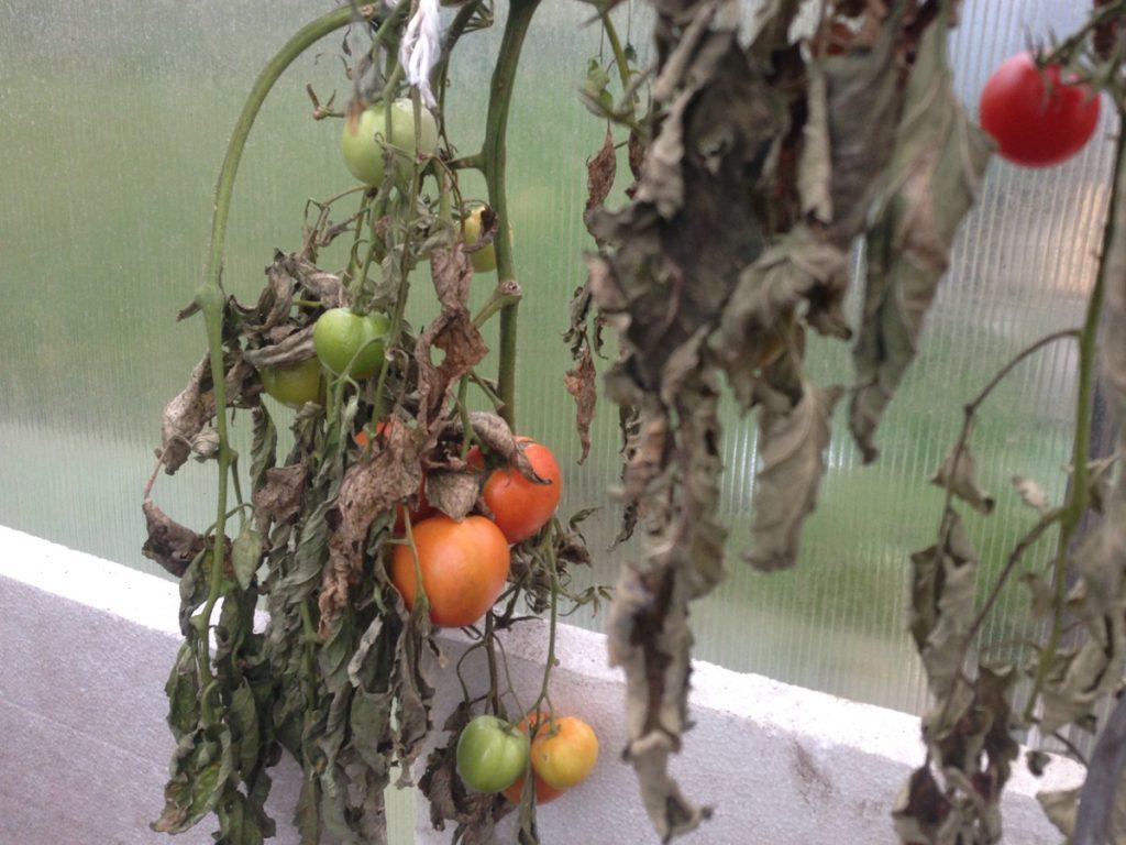 tomaten_im_gewaechshaus