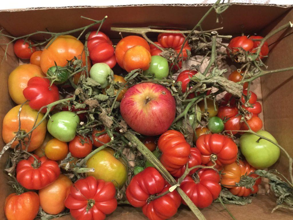 tomatenreifung
