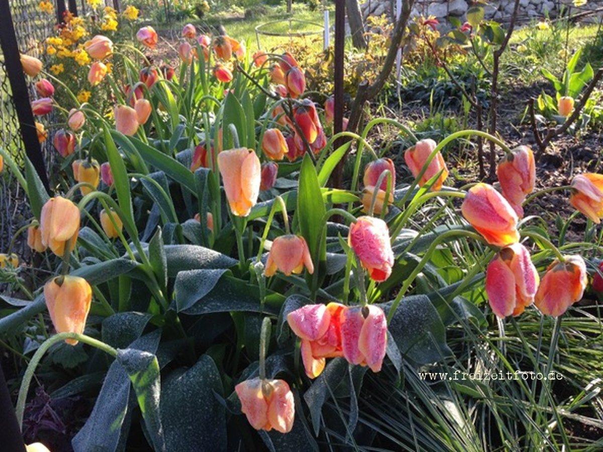 frost im april freizeitfoto