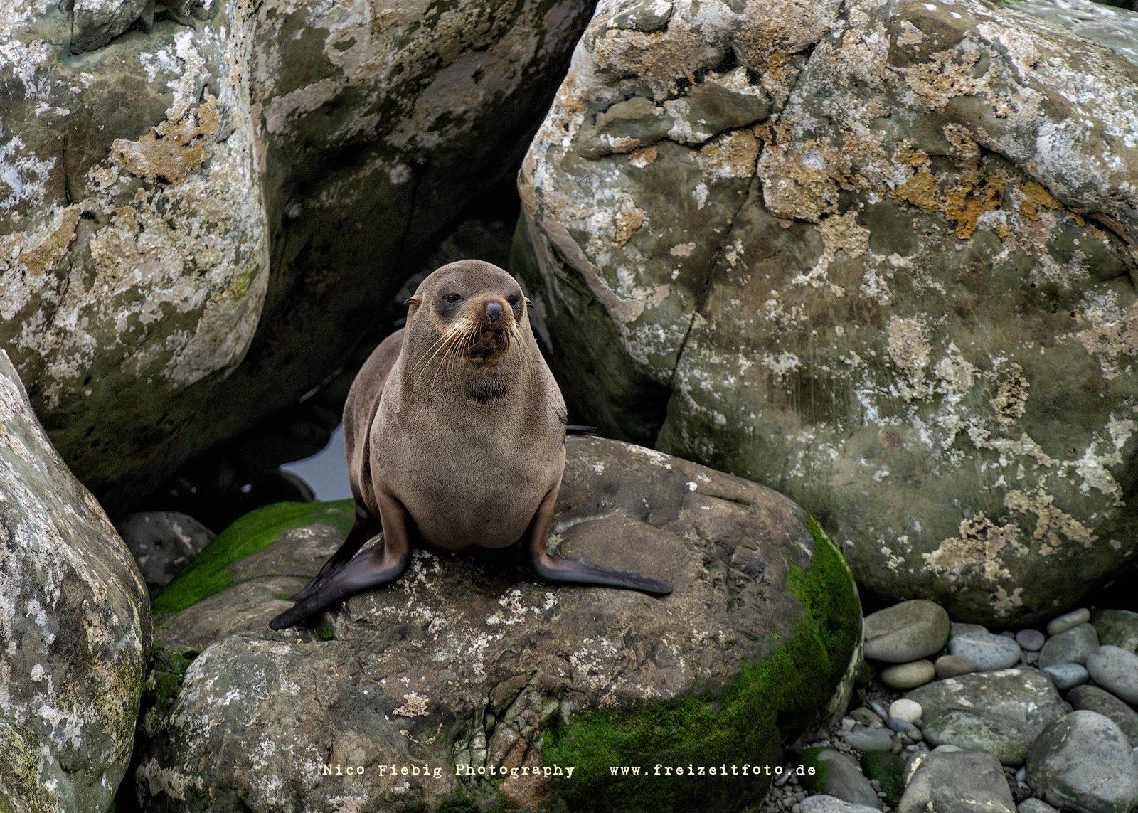 Ein schöner Fotospot, um Robben bei der Aufzucht zu beobachten. Bis zu mehreren hunderte von Robben lassen sich hier an der Küste anschauen. Ohau Point Neuseeland