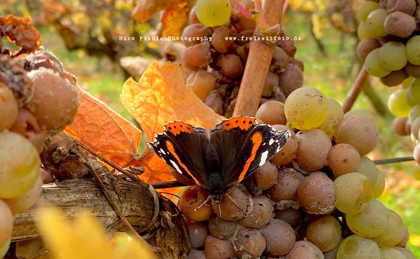 Ein Schmetterling im Weingarten