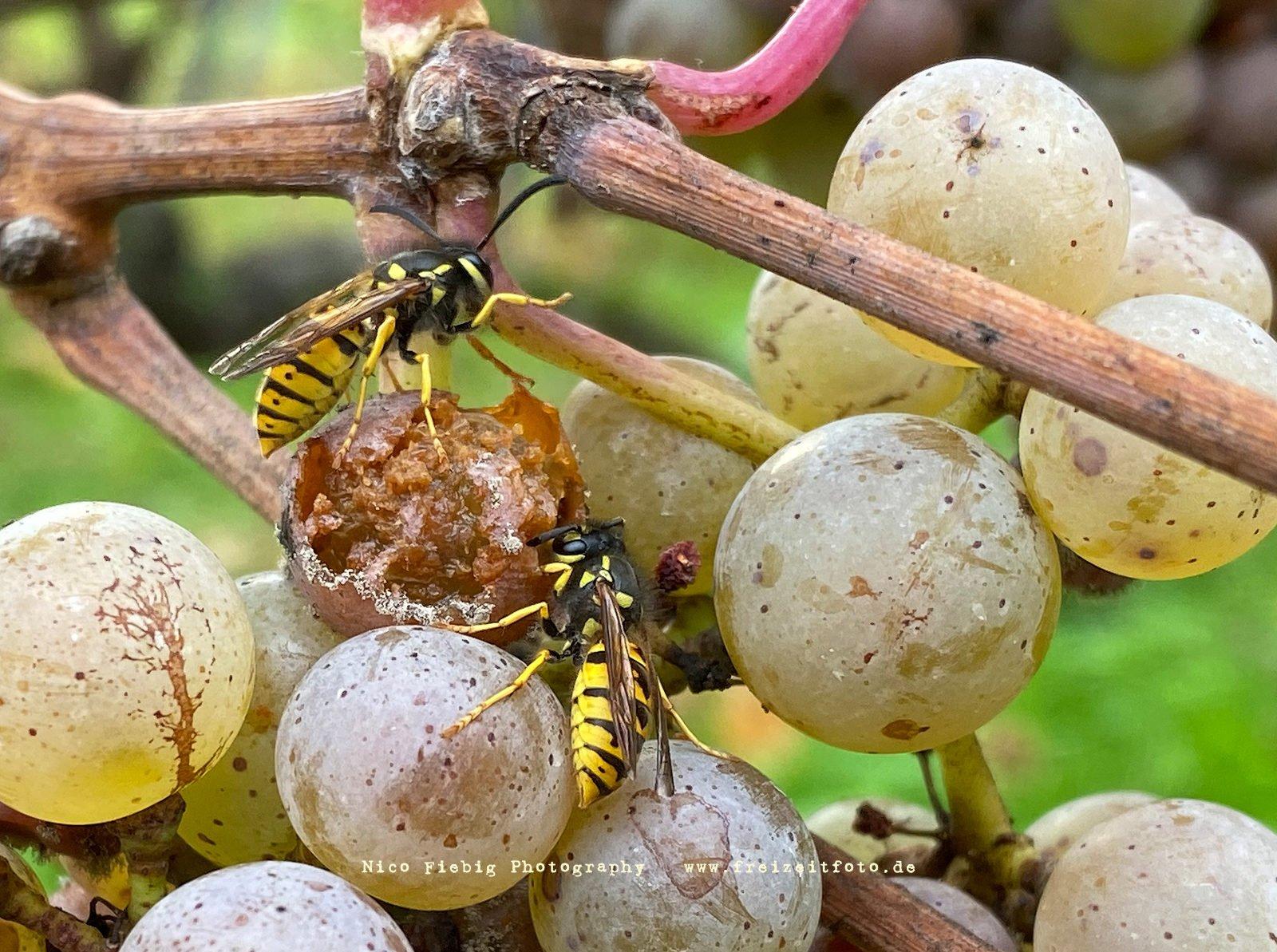 Wespen im Weingarten